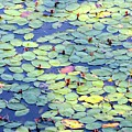 Light On Lily Pads by Carol Groenen