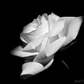 Light On Rose Black And White by Jennie Marie Schell