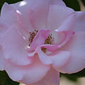 Light Pink Rose by Ruth Housley