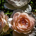 Light Pink Roses by Howard Roberts