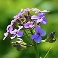 Light Purple Flowers  by Lyle Crump