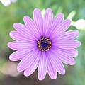 Light Purple Gazania Macro 1  by Linda Brody