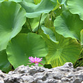 Light Purple Water Lily And Large Green Leaves by Roy Williams