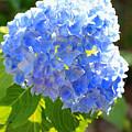 Light Through Blue Hydrangeas by Carol Groenen