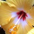Light Yellow Hybiscus by Laura  Grisham