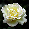 Light Yellow Rose 1 by J M Farris Photography