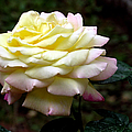 Light Yellow Rose 2 by J M Farris Photography