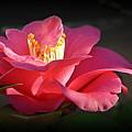 Lighted Camellia by AJ Schibig