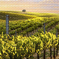 Lighted Vineyard by Sharon Foster
