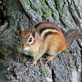 Lil Chipmunk by Charles Ford