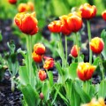 Lil Tulips by Bill Cannon
