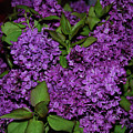 Lilac by AJ Harlan