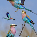 Lilac-breasted Roller Collage by Basie Van Zyl