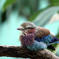 Lilac Breasted Roller by Karol Livote