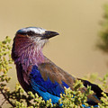 Lilac Breasted Roller by Sandra Bronstein