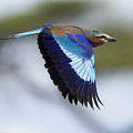 Lilac-breasted Roller-signed by J L Woody Wooden