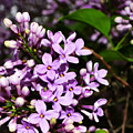 Lilac Bush In Spring by Michelle Calkins
