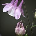 Lilac Columbine 3 by Teresa Mucha