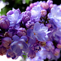 Lilac Flower by Ewelina Pop