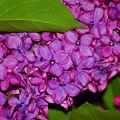 Lilac In The Dark by Elizabeth Stone