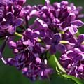 Lilac by Kathy Benham
