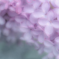 Lilac Love by Joy McAdams