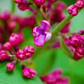 Lilac Opening by Elizabeth Stone