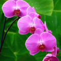 Lilac Orchid Beauties by Sue Melvin