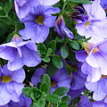 Lilac Petunias by Colleen Kammerer