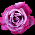 Lilac Rose by Vanessa Thomas