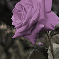 Lilac Rose by Vijay Sharon Govender