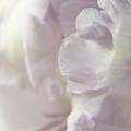 Lilac Ruffles by Ann Garrett