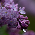 Lilacs After Rain by Marie Leslie