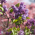 Lilacs And Dogwoods by Jim And Emily Bush