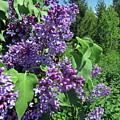 Lilacs by Cindy Murphy - NightVisions