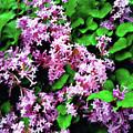 Lilacs In May by Sandy MacGowan