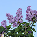 Lilacs In The Sky by Carolyn Postelwait