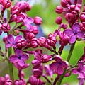 Lilacs by John Rizzuto
