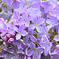 Lilacs-lavender Lovely  by Regina Geoghan