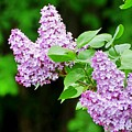 Lilacs by Mhiss Little