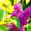 Lilacs by Susanne Van Hulst