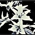 Lilies All Aglow by Debra Lynch