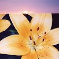 Lilies And Sky 3 by Lyle Crump