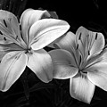 Lilies In Black And White by Thomas Morris