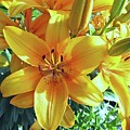 Lilies by Lillian Hibiscus
