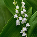 Lilies Of The Valley by George Sanquist