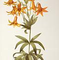 Lilium Penduliflorum by Pierre Joseph Redoute