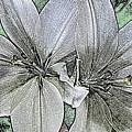 Lillies by David Pantuso