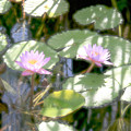 Lillies by Lita Kishbaugh