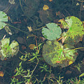 Lilly Pad Close Up  by John McGraw